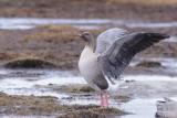 Kleine Rietgans / Pink-footed Goose