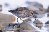 Paarse Strandloper / Purple Sandpiper