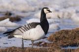 Brandgans / Barnacle Goose