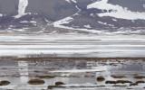 Witbuikrotgans / Pale-bellied Brent Goose