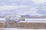 Rendier / Reindeer