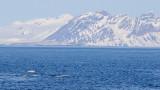 Beloega / Beluga / Delphinapterus leucas