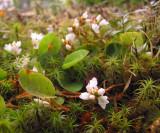 d.epigaea repens.jpg