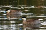20150115_7370 blue billed duck bolivia.jpg