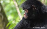 20150111_7054 spider monkey bolivia.jpg