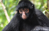 20150111_7055 spider monkey bolivia.jpg