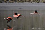20150113_6507 flamingos flying bolivia.jpg