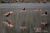 20150113_6508 flamingos flying bolivia.jpg