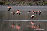 20150113_6515 flamingos flying bolivia.jpg
