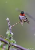 Ruby- throated  Hummingbird Male.jpg