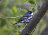 Yellow-rumped Warbler.jpg