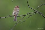 Rainy day Finches