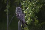 Great Grey Owl post.jpg
