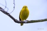 Yellow Warbler.jpg