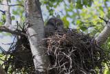 Great Grey on her Nest.jpg