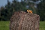 Red Fox Sunning.jpg