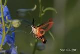 Clearwing hummingbird moth.jpg