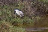 Black Crowned Heron pbase .jpg