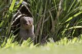 mongoose pbase.jpg