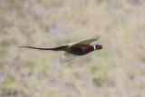 Ring necked pheasant .jpg