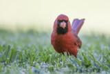 Northern Cardinal pbase.jpg