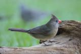 Northern Cardinal female.jpg