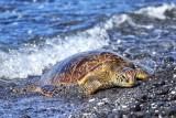 Green turtle 4 .jpg