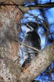 Black-backed Woodpecker Male.jpg