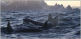 Whalesafari at Andenes Norway