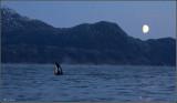 Killer whale in moonlight