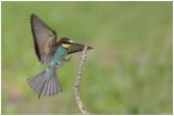 Beeater (Merops Apiaster)