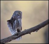 Owls of Scandinavia