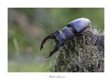 Stagle beetle (Lucanus Cervus)