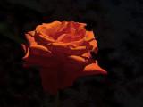 Keiko's Red Rose