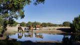 Wilid Horses of Placitas