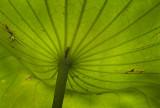 Under the Lotus