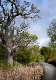 Oracle Oak