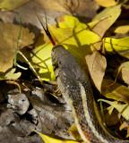 New Mexican Garter Snake