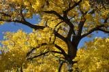 October's Cottonwood
