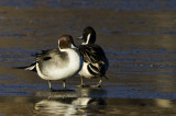 Pintails on Ice