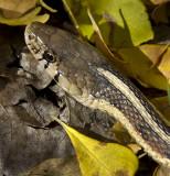 New Mexico Garter Snake