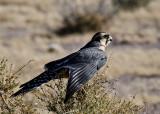 The Aplomado Falcon