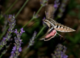Hummingbird Sphinx-Moth