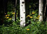 High Mountain Daisies and Aspen