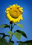 Alpha Sunflower