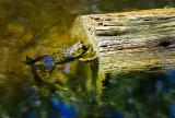 Pond Prince