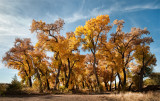 A glorious Last Stand of Cottonwood