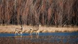 Mule Deer in the Bosque