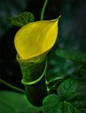 Yellow Cala Lily