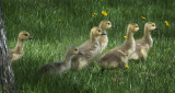 March of the Goslings